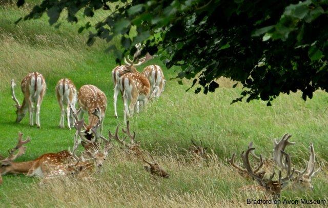 fallow deer, Dyrham Park