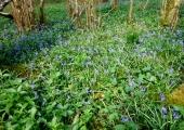 bluebells, Inwood