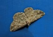moth, Bradford on Avon