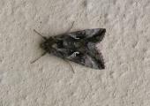 insect: silver Y moth, Bradford