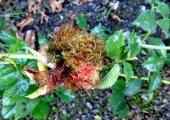Robin's pincushion gall, South Wraxall