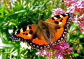 small tortoiseshell butterfly, South Wraxall