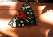 insect: scarlet tiger moth, Bradford