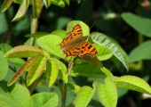 insect: comma butterfly at The Courts, Holt