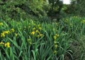 pond with Iris, Bradford Leigh