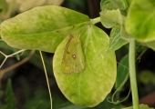 insect: clouded yellow butterfly, Bradford