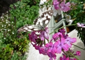 marbled white butterfly, Bradford on Avon