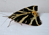 Jersey tiger moth, Bradford on Avon