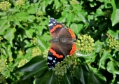 insect: red admiral butterfly, Conkwell