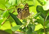 insect: speckled wood butterfly, Bradford