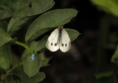insect: small white butterfly, Bradford