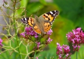 insect: painted lady butterfly, Bradford