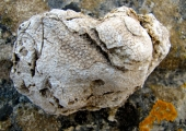 Fossil coral colony Thamnasteria