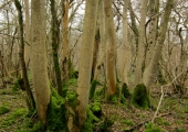 old coppice, Inwood, Monkton Farleigh