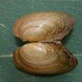 The Museum Collection: Mollusc Shells