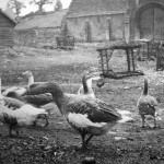 geese at Barton Farm