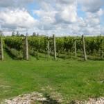 vineyard, Ashley