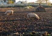 pigs at Fairfield, Bradford on Avon