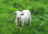 Wiltshire Horn sheep, Avoncliff, Westwood