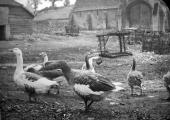 Geese at Barton Farm, Bradford on Avon