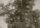 The Ham Tree and turnpike gate, c1880