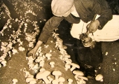 Picking mushrooms by acetylene lamp